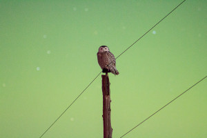A Minnesota owl illuminated by the light of an aurora (Photo Douglas Kiesling)
